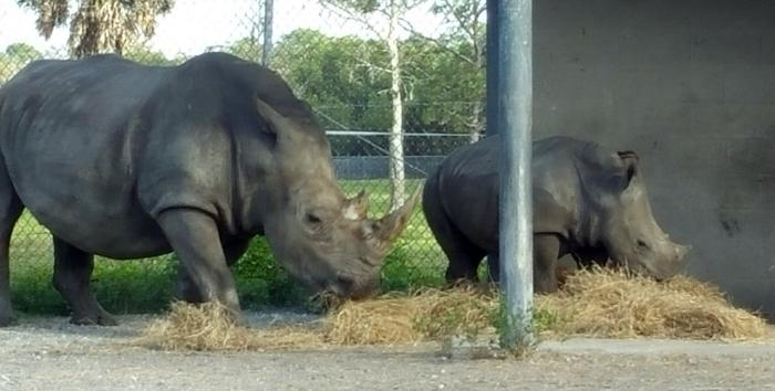 baby-rhino-lion-country-safari.jpg