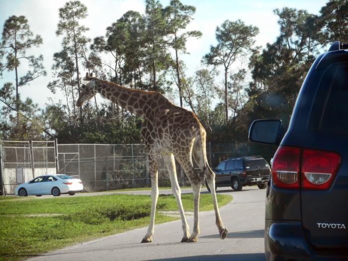 giraffe-lion-country-safari