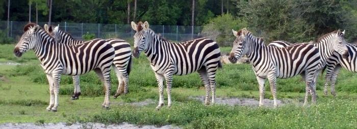 zebras-lion-country-safari