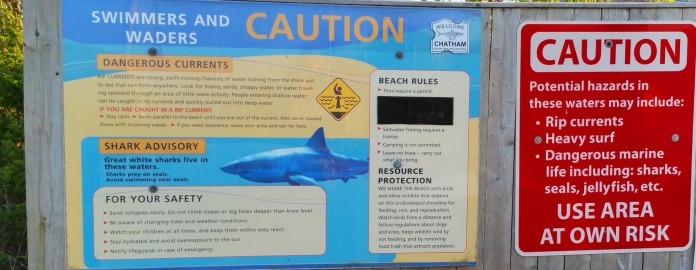 Great white sharks have become more common off Chatham due to an influx of seals. (Craig Davis/Craigslegz.com)